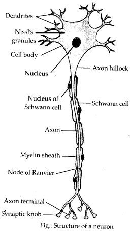 NCERT Solutions For Class 11 Biology Neural Control and Coordination Q4