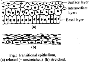 NCERT Solutions For Class 11 Biology Structural Organisation in Animals Q11.3