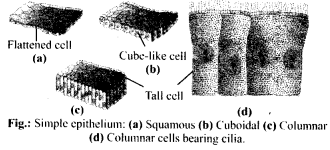 NCERT Solutions For Class 11 Biology Structural Organisation in Animals Q11