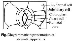 NCERT Solutions For Class 11 Biology Anatomy of Flowering Plants Q8
