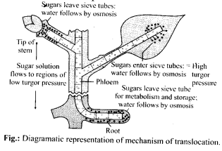 NCERT Solutions For Class 11 Biology Transport in Plants Q14