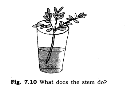 NCERT Solutions for Class 6 Science Chapter 7 Getting to Know Plants SAQ Q8