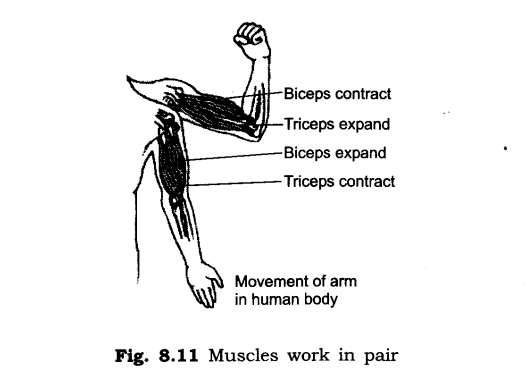 NCERT Solutions for Class 6 Science Chapter 8 Body Movements SAQ Q5