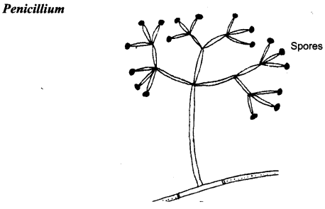 NCERT Solutions for Class 8 Science Chapter 2 Microorganisms Friend and Foe 2 Marks Q24