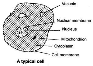NCERT Solutions for Class 8 Science Chapter 8 Cell Structure and Functions 1 Mark Q18