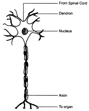 NCERT Solutions for Class 8 Science Chapter 8 Cell Structure and Functions 3 Marks Q4