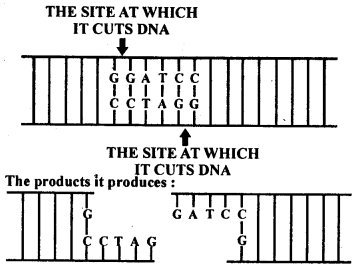NCERT Solutions For Class 12 Biology Biotechnology Principles And Processes Q2
