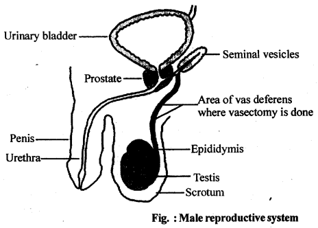 NCERT Solutions For Class 12 Biology Human Reproduction Q2