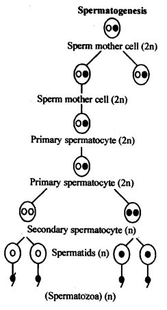 NCERT Solutions For Class 12 Biology Human Reproduction Q6