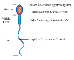 NCERT Solutions For Class 12 Biology Human Reproduction Q9