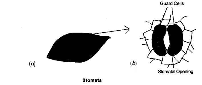NCERT Solutions For Class 9 Science Chapter 6 Tissues Activity Based Q3