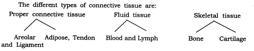 NCERT Solutions For Class 9 Science Chapter 6 Tissues LAQ Q3